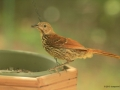 Brown Thrasher at the feeder