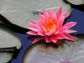 Lotus in a dirty pond