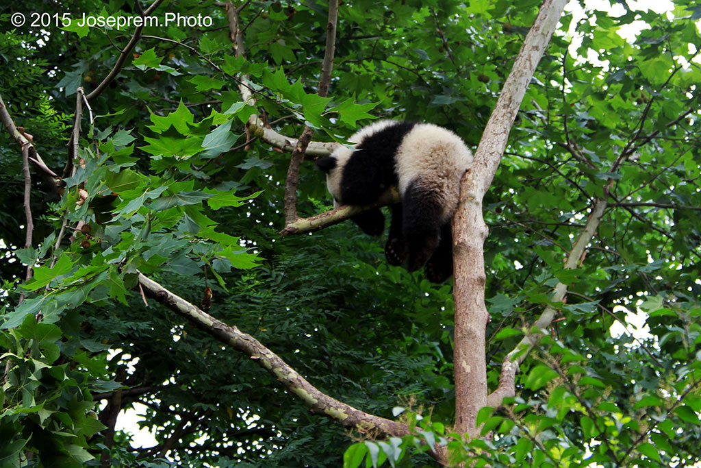 Baby Panda High up in the trees.jpg