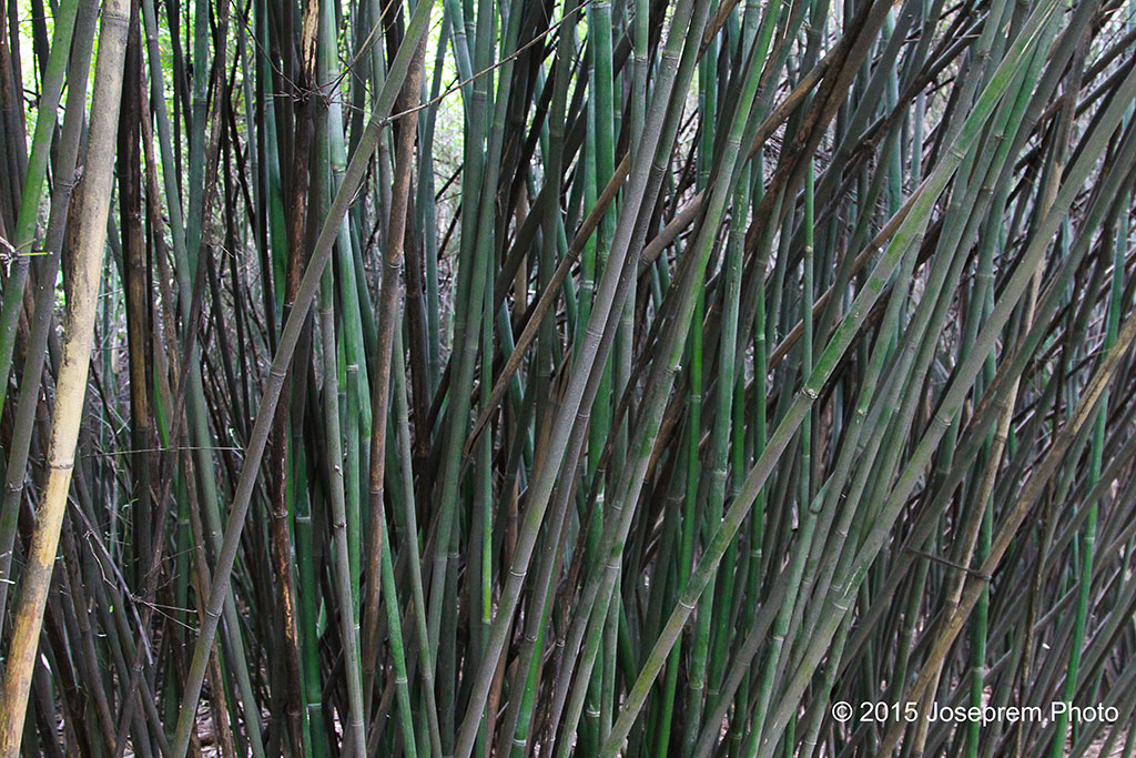 Bamboos - staple of the Pandas.jpg