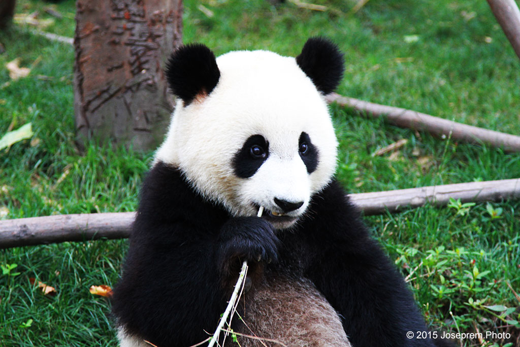 Cute Panda chewing on a bamboo shoot.jpg