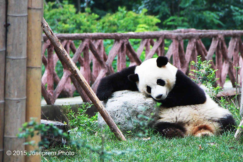Panda resting on a stone pillow.jpg