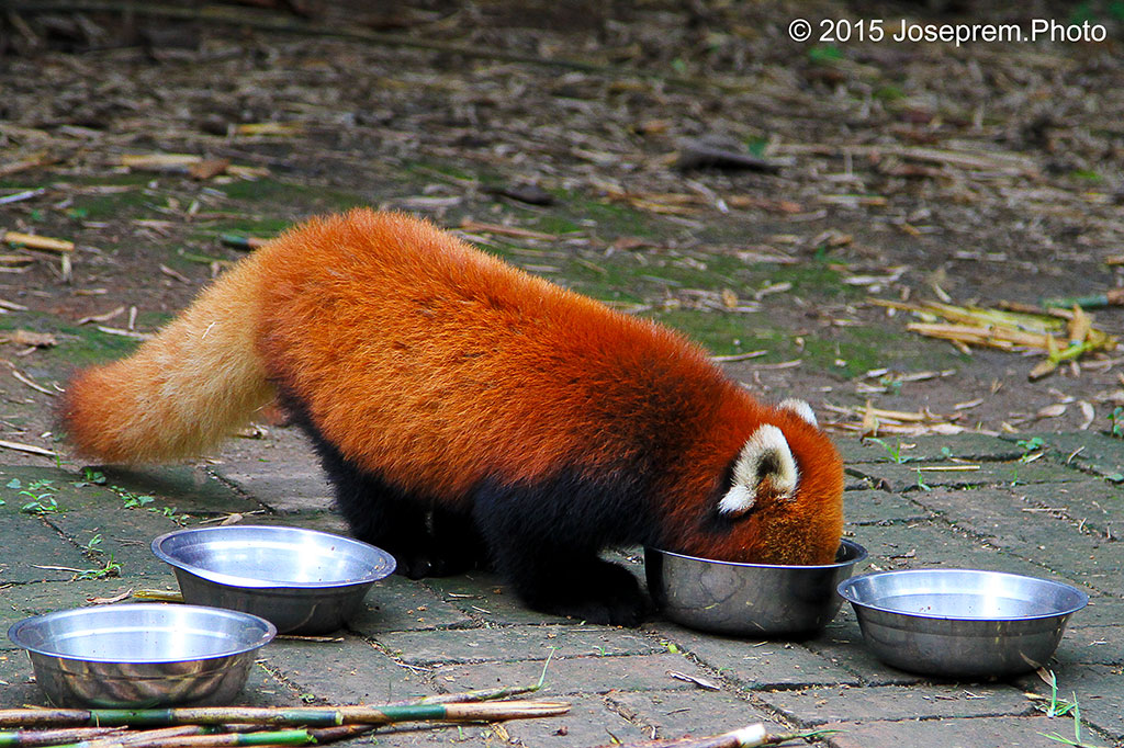 Red Panda scrapping off morsels.jpg
