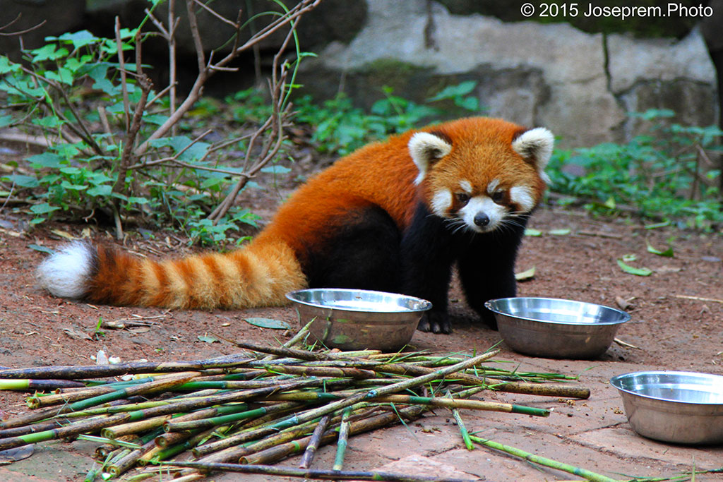 The Red Panda of Chengdu.jpg